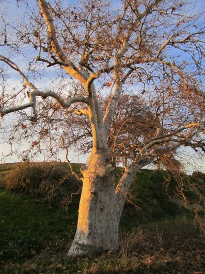 Sycamore Sunset