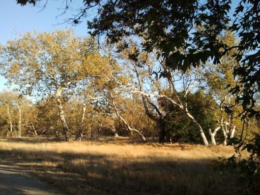 Sycamore Grove 2