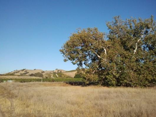 Sycamore Grove and Grape Vines