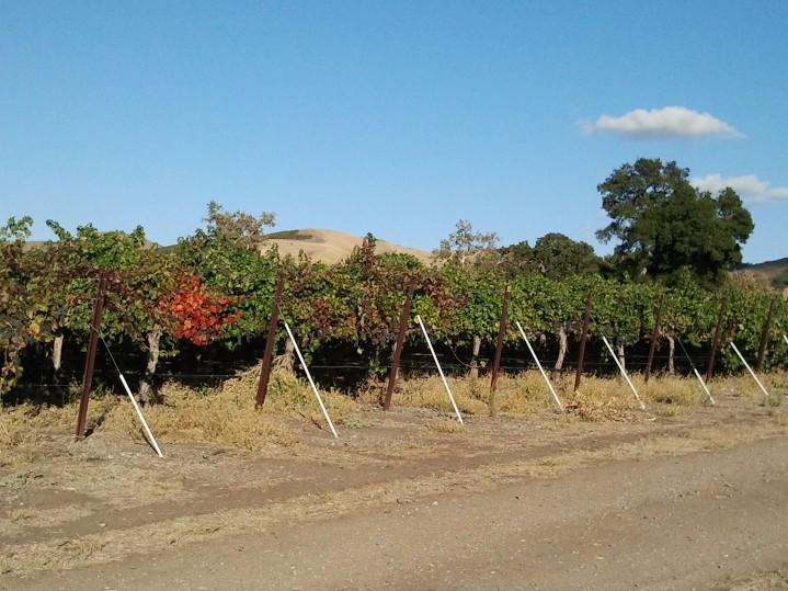 Vines Waiting For Harvest