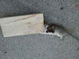 Dead Rat Two