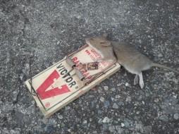 Dead Rat One