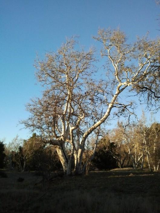 Sycamore Tree Evening Light