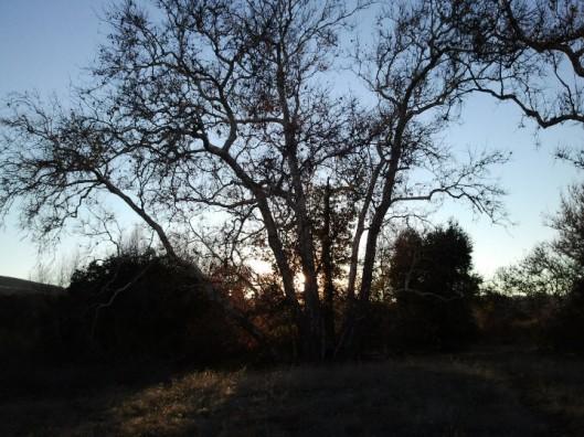 Sunset Through A Sycamore