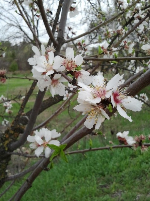 Almond Blossom No. 25