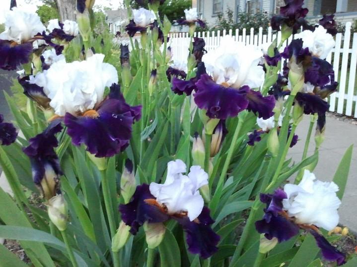 Iris Explosion